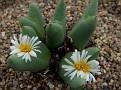 Conophytum auctum Umdaus