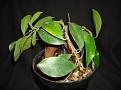 Ficus retusa
