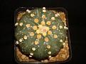 Astrophytum asterias cv  Akahana Kabuto