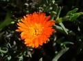Lampranthus aureus