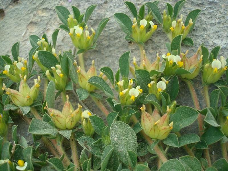 Tripodion tetraphyllum  Anthyllis tetraphylla