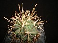Sclerocactus uncinatus