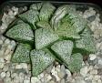 Haworthia picta Japanese hybrid