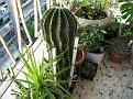 Echinopsis sp (2)