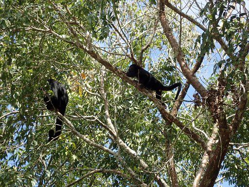 howler monkeys in the trees