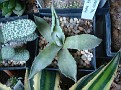 Agave parryi v  covesii