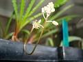 Drimiopsis sp. nova