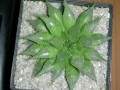 Haworthia emelyae var multifolia PE0341