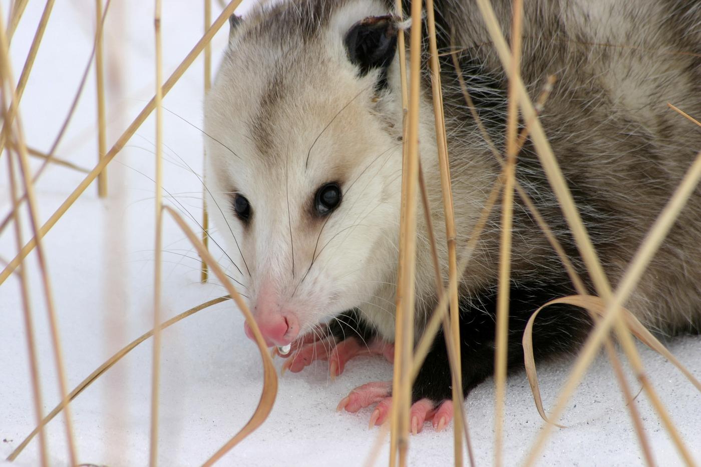 Hiding Opossum