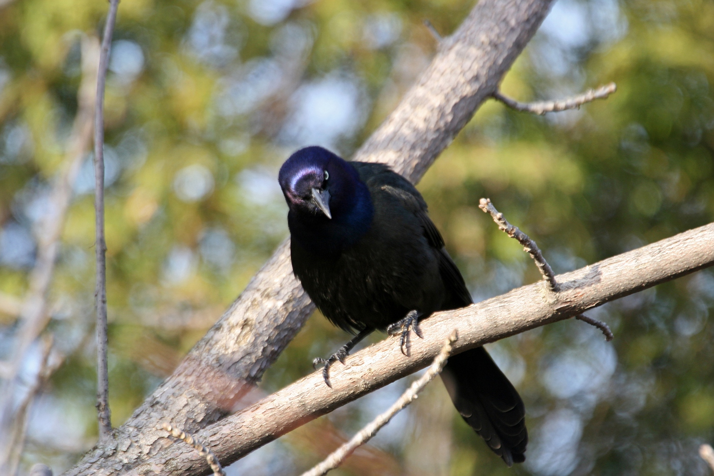 Staring Grackle