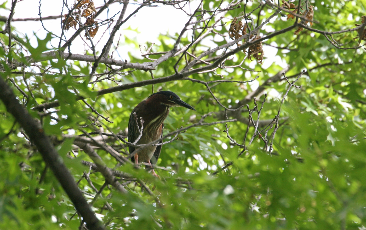 Adult Green Heron #3