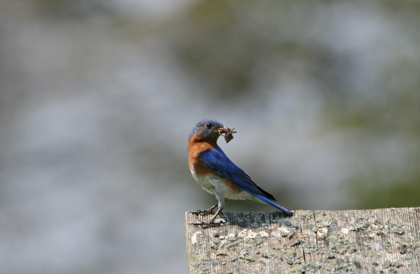 Male Bluebird #13