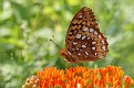 Great Spangled Fritillary #3