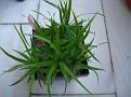 Dracaena ellenbeckiana