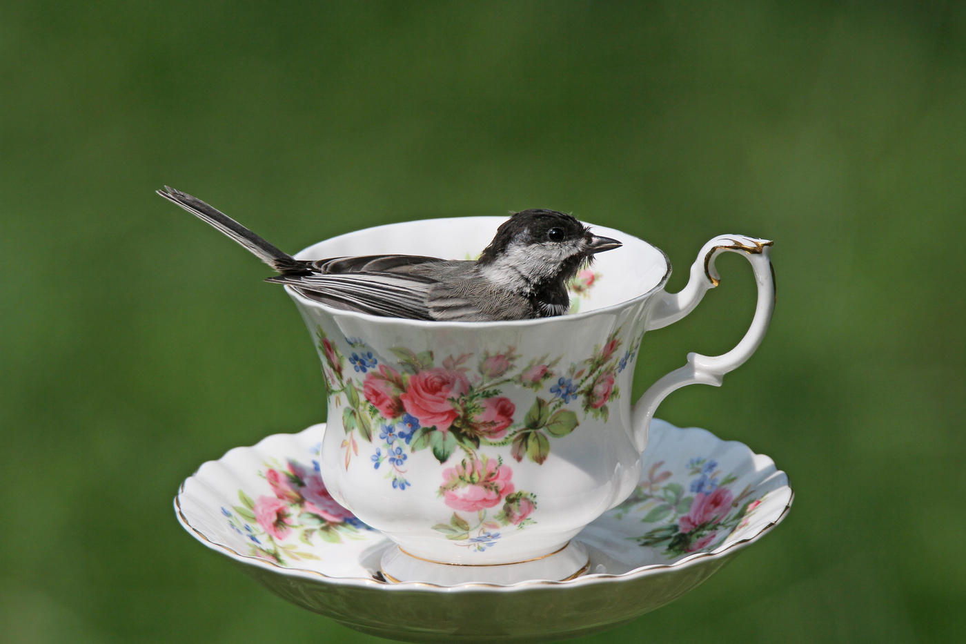 Chickadee at Teacup #25