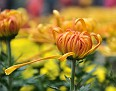 Chrysanthemum KF13