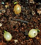 Haemanthus albiflos seeds from variegated plant  (9)