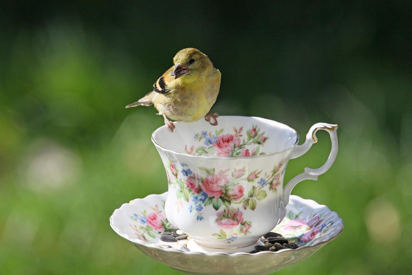Goldfinch #4