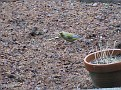 022. Carduelis chloris. in Holland the Groenling