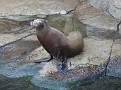 aan de start,  Zolaphus californicus,   Californische zeeleeuw