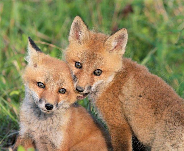 Fox eats fox