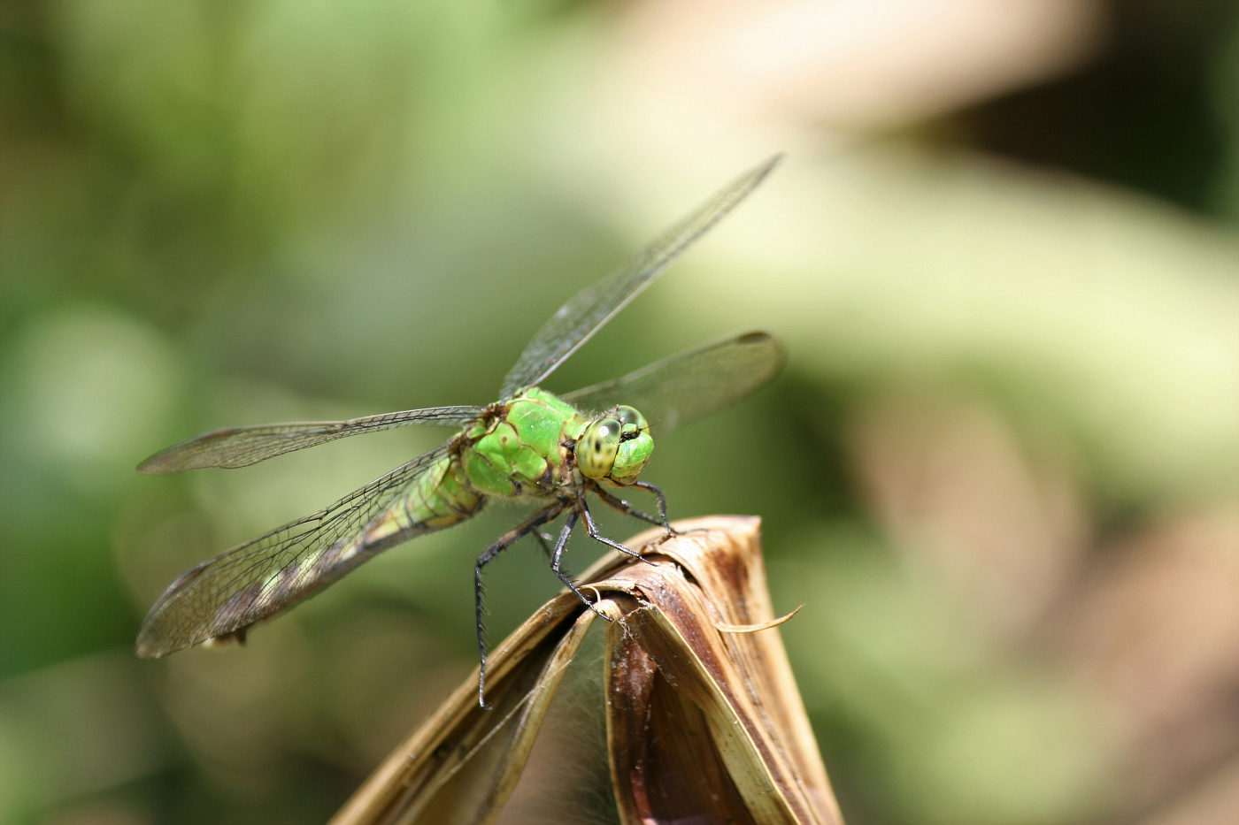 Female Pondhawk #23