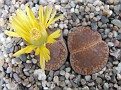 Lithops aucampiae Danielskuil C366