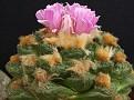Ariocarpus fissuratus v. intermedius