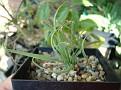 Ornithogalum apertum - Calvinia Augustfontein LAV 29904