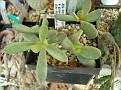 Adromischus umbracticola v. ramosus