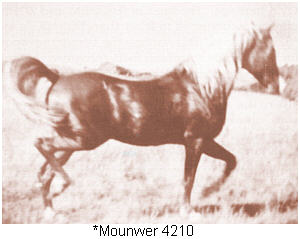 Mounwer, an asil Shueyman Sabbah from Lebanon, imported to the USA in 1947