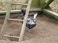 This is a Silver Polish Hen...