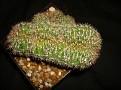 Echinopsis sp cristata