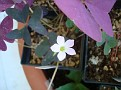 Oxalis Triangularis 'Francis'