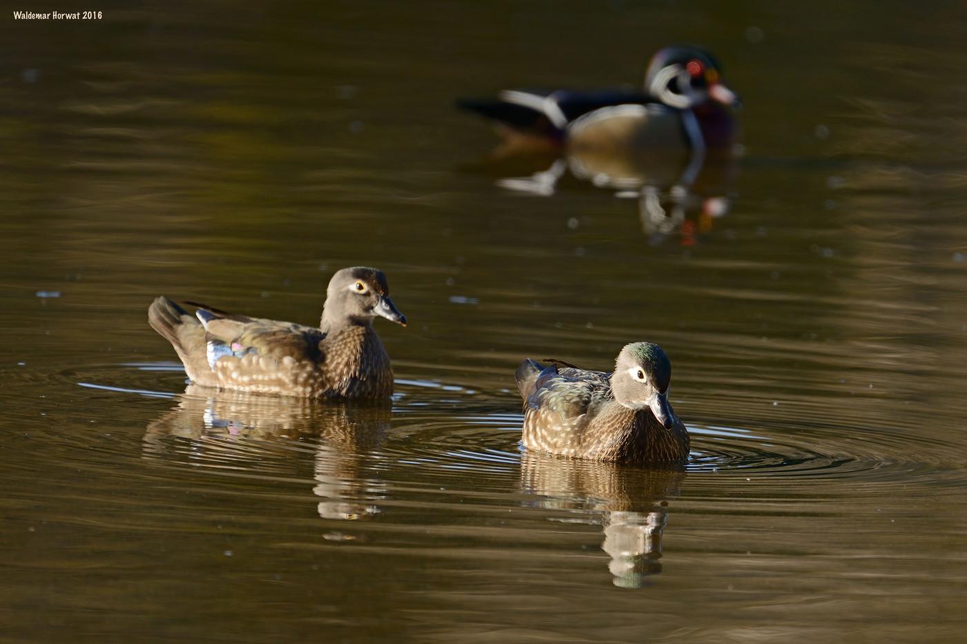 Wood Duck Triad