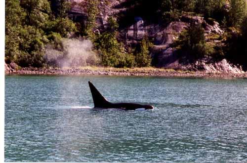 Orca cruising shoreline