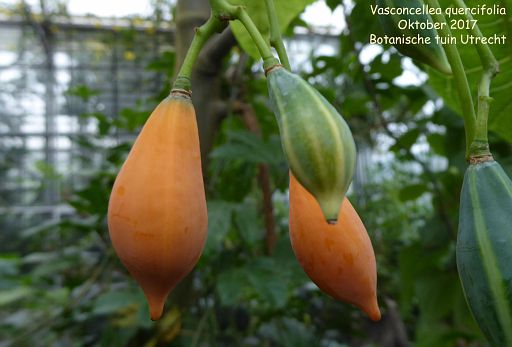Vasconcellea quercifolia (fruit)