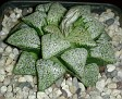 Haworthia picta Japanese hybrid