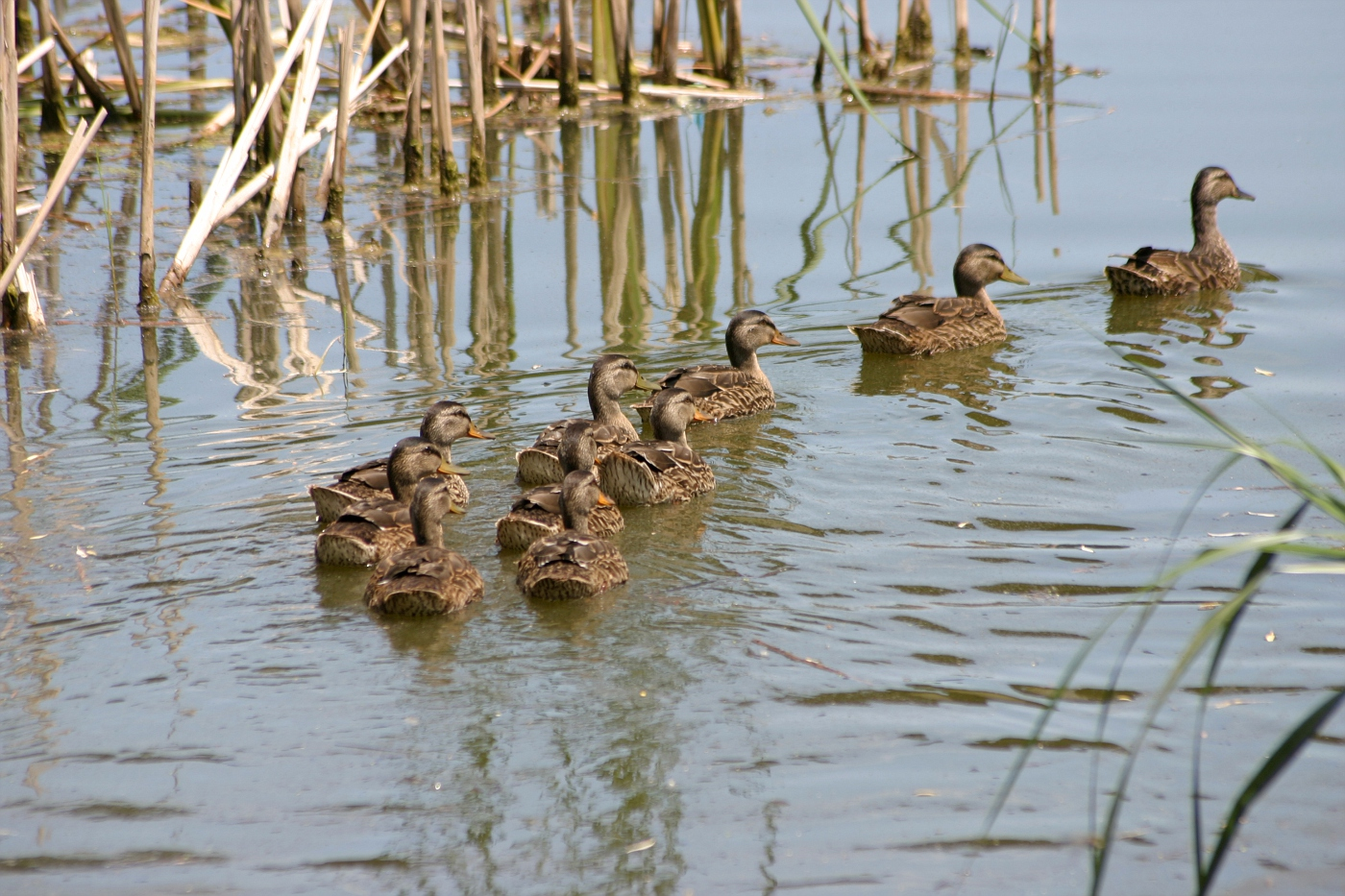 Line of Juvenile Ducklings