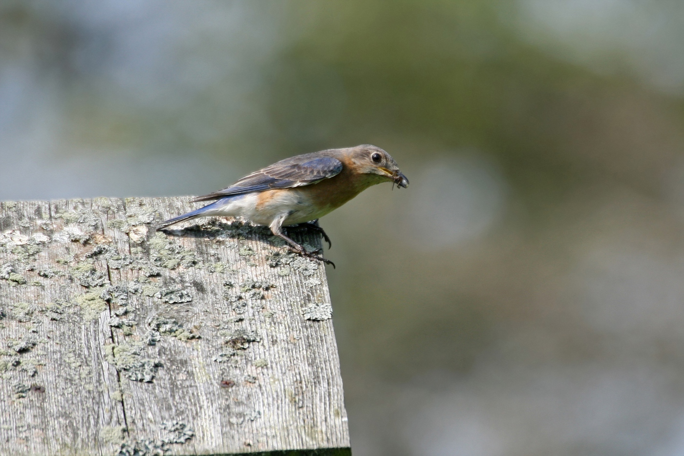 Female Bluebird #10