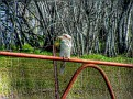 Kookaburra on a Mandurama gate