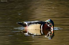 Drinking Wood Duck