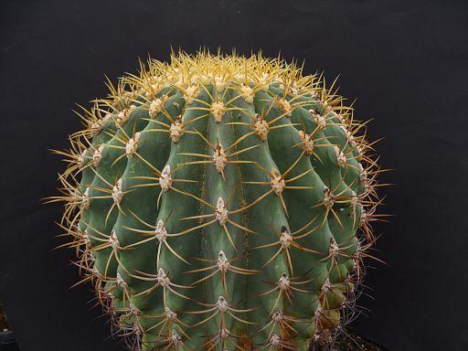 Ferocactus glaucescens fa. monstruosa