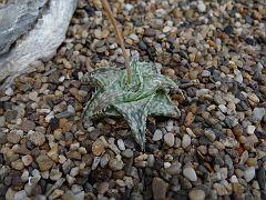 Aloe propagulifera