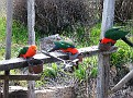 King Parrots at Gordon's 250810 010
