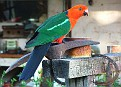 King Parrot at Gordon's Storey Cottage