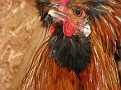 """Golden Polish with cool """"Top Hat""""  It is a rooster."""