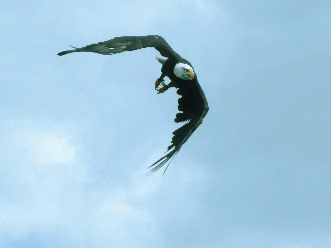 Freiflug Weißkopfseeadler