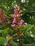 Blütenkerzen