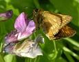 Ochlodes sylvanus - Engsmyger